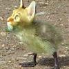 Chicken Cat