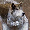 Funny Wolf