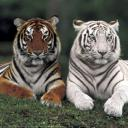 tigers lions avatars 0459